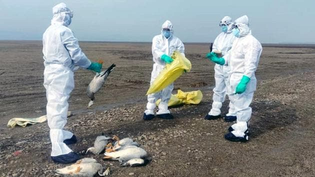 Wildlife officials collecting carcasses of birds that died due to bird flu (H5N1) in the Pong Dam wetland in Kangra district of Himachal Pradesh. At least five states in India have reported bird deaths due to the avian flu in the past one week, following which the Centre has issued an advisory asking all states to test droppings of migratory and poultry birds to prevent the spread. (HT Photo)