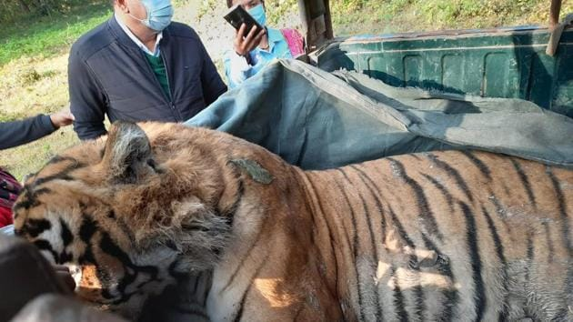 The tiger's body was recovered from the jungle on Thursday morning.(HT photo)
