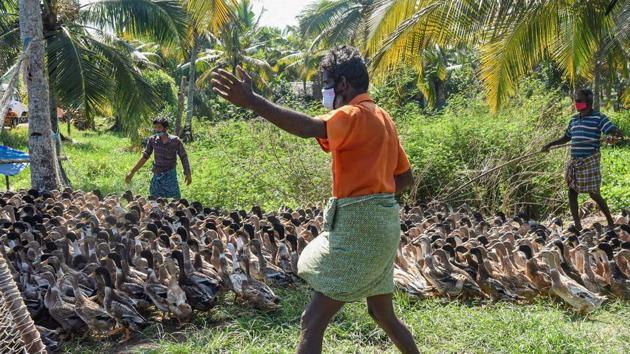 An outbreak of the avian flu has also been reported from two poultry farms in Kerala's Kozhikode district(PTI)