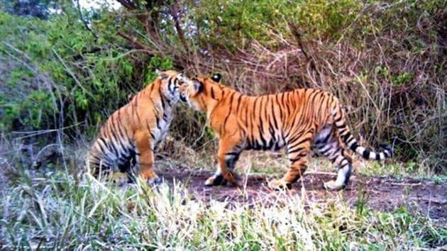 A pair of tigers in the forest at Gohri Range of Rajaji Tiger Reserve.(HT FILE PHOTO)