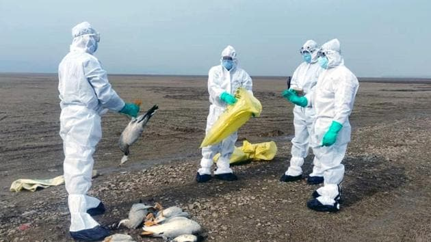 Wildlife officials collecting carcasses of birds that died due to bird flu (H5N1) in the Pong Dam wetland in Kangra district of Himachal Pradesh over the past week.(HT Photo)