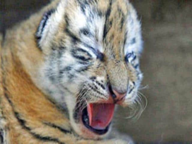 Why a tiger cub died at Corbett