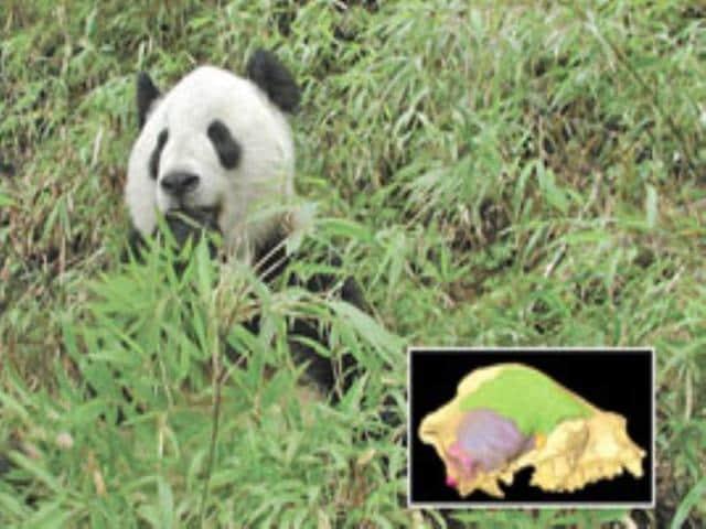 panda,remants,found