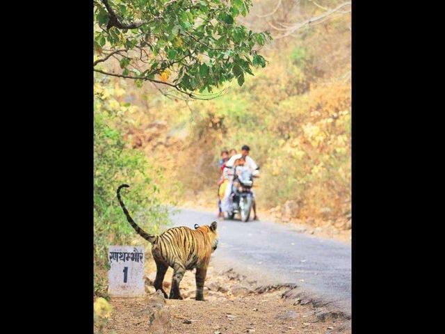 tiger attack,Pench tiger reserve,MP Forest Department
