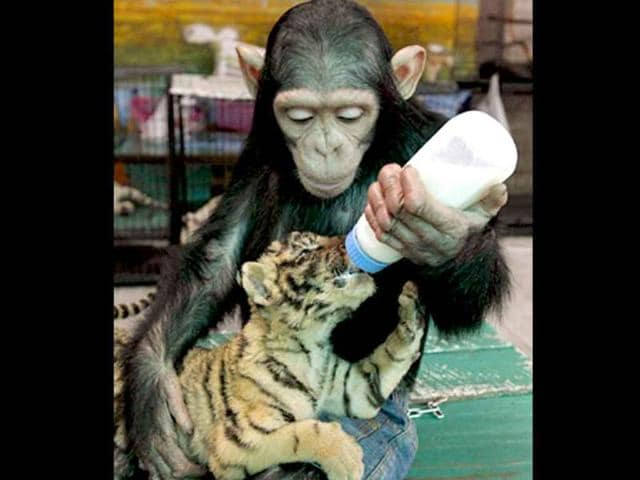A-two-year-old-chimp-feeding-a-two-month-old-tiger