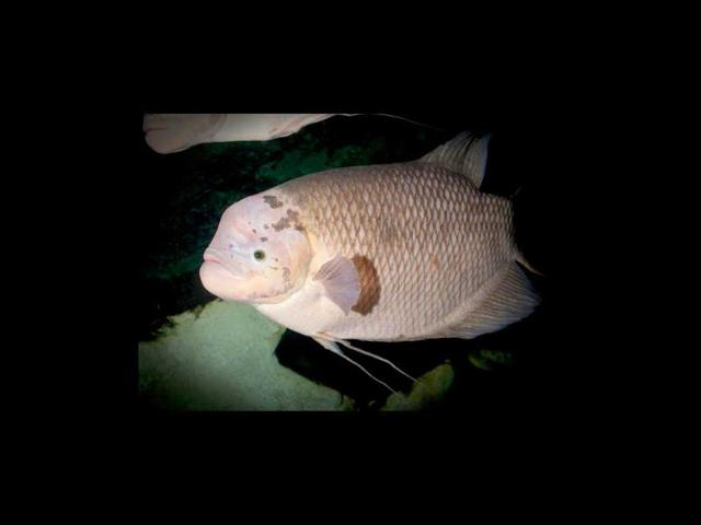 Gary the Kit Kat fish goes on a diet