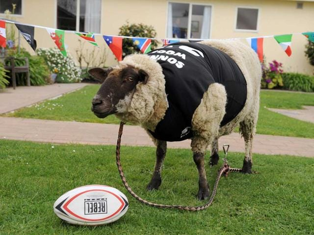 A-sheep-called-Sonny-Wool-prepares-to-usehis-psychic-ability-to-predict-the-outcome-of-the-All-Blacks-game-against-Tonga-in-the-2011-Rugby-World-Cup-in-Wellington-Like-Paul-the-octopus-in-the-2010-soccer-World-Cup-Sonny-Wool-via-his-feed-attached-with-corresponding-flags-will-attempt-to-choose-the-winner-by-which-ever-he-decides-to-eat-first---