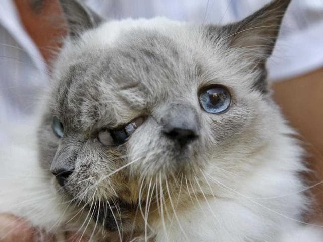 cat with two faces,tow faced cat,2012 Guinness Book of World Records