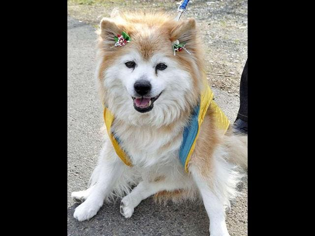 Pusuke-the-world-s-oldest-living-dog-according-to-Guinness-World-Records-died-on-Dec-5-2011-after-suddenly-falling-ill