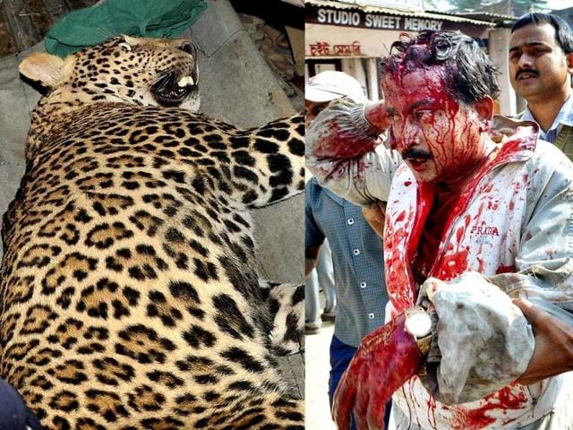 Leopard-in-Meerut-Chahat-HT-photo