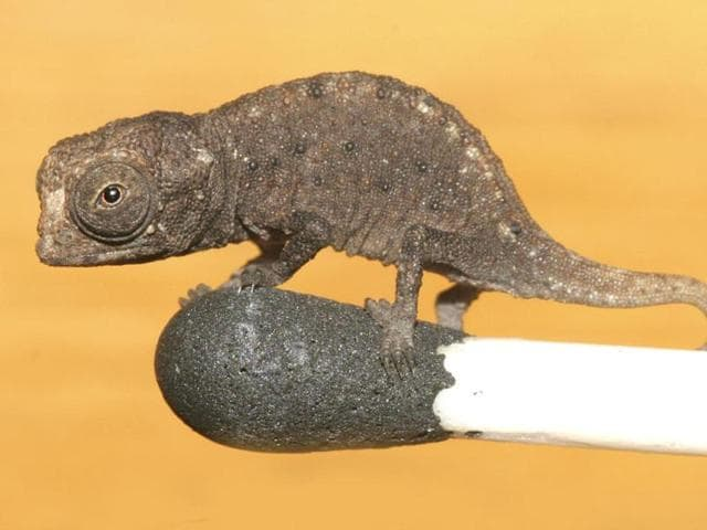 news,chameleon,hindustan times
