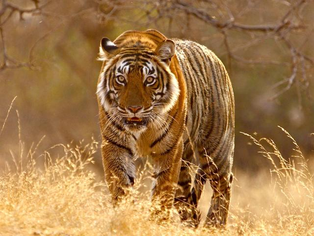 Tiger population,Tiger census,Widlife