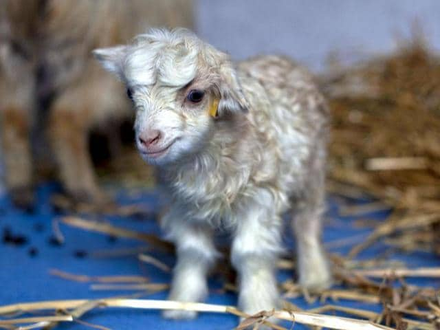 Noori-a-cloned-pashmina-goat-stands-inside-a-sheep-breeding-center-at-Sher-e-Kashmir-University-of-Agricultural-Sciences-and-Technology-in-Alastang-some-25-kilometers-from-Srinagar-Scientists-at-the-University-successfully-cloned-the-world-s-first-pashmina-goat-prized-for-its-fine-wool-AP-Dar-Yasin
