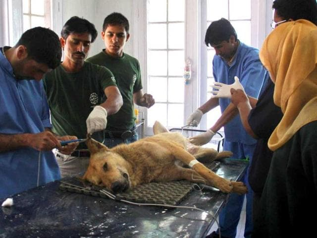 Kashmiri-veterinary-paramedics-operate-upon-a-dog-at-a-veterinary-hospital-of-Sher-e-Kashmir-University-of-Agricultural-Sciences-and-Technology-in-Shuhama-east-of-Srinagar-HT-Waseem-Andrabi