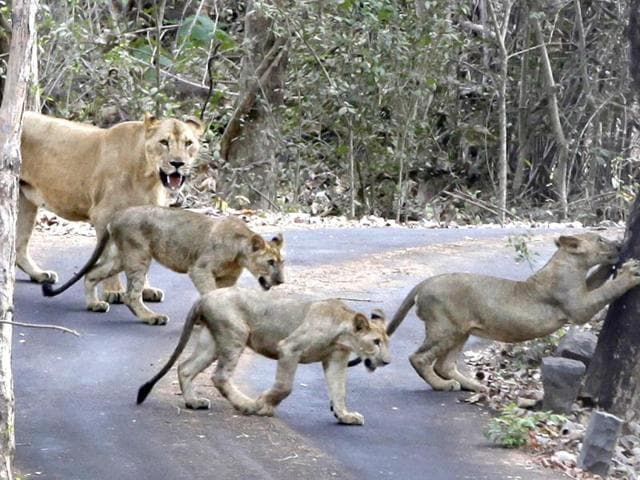 Lioness-Shobha-is-seen-with-her-three-cubs-at-the-Sanjay-Gandhi-National-Park-in-Borivali-HT-Mahendra-Parikh