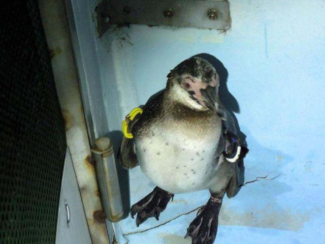 This-file-handout-picture-taken-and-released-by-Tokyo-Sea-Life-Park-on-May-25-2012-shows-a-rescued-penguin-after-it-was-recaptured-which-had-escaped-from-the-park-on-March-4-in-Tokyo