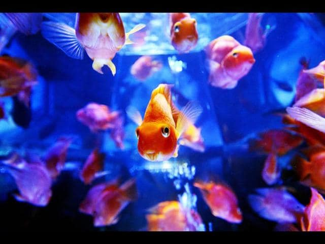 Goldfish-swim-in-a-tank-as-part-of-an-art-exhibition-Art-Aquarium-during-a-press-preview-in-Tokyo-AFP-Photo-Yoshikazu-Tsuno