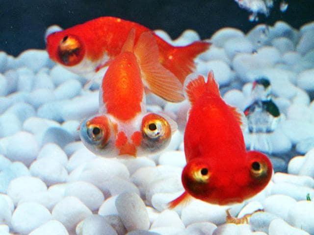 Telescope-eyed-goldfish-swim-in-a-tank-as-part-of-an-art-exhibition-Art-Aquarium-during-a-press-preview-in-Tokyo-The-exhibition-designed-by-aquarist-Hidetomo-Kimura-AFP-Photo-Yoshikazu-Tsuno