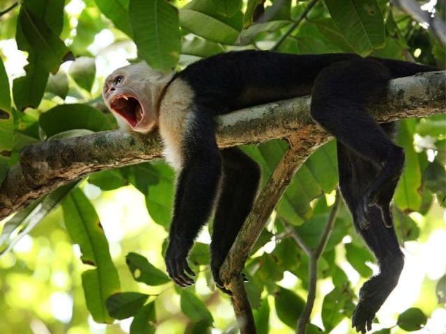 Capuchin Monkey,Costa Rica,fauna