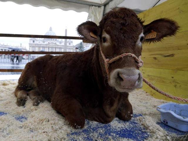 slaughter of calves