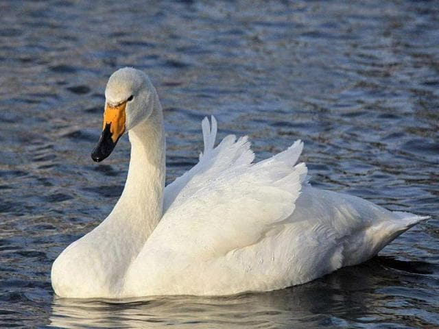 Rare-winter-migratory-bird--whooper-swan-spotted-at--Pong-Dam-Lake-wetland-this-winter-HT-Photo