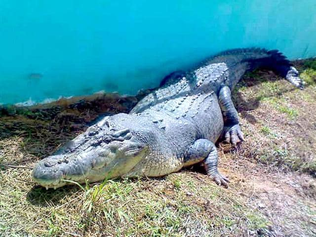 FILE-In-this-2011-photo-Lolong-the-world-s-largest-saltwater-crocodile-in-captivity-according-to-the-Guinness-World-Records-rests-in-his-pen-two-days-after-being-captured-by-residents-and-staff-of-a-crocodile-farm-along-a-creek-in-Bunawan-township-Agusan-Del-Sur-province-in-southern-Philippines