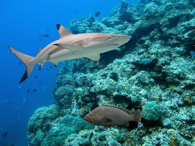 The-local-government-in-Raja-Ampat-on-the-western-tip-of-New-Guinea-island-announced-the-creation-of-a-protection-zone-this-week-issuing-local-regulations-to-ban-the-finning-and-fishing-of-sharks-in-the-area-a-tourist-destination-popular-with-divers-Photo-AFP-Ian-Scott-shutterstock-com