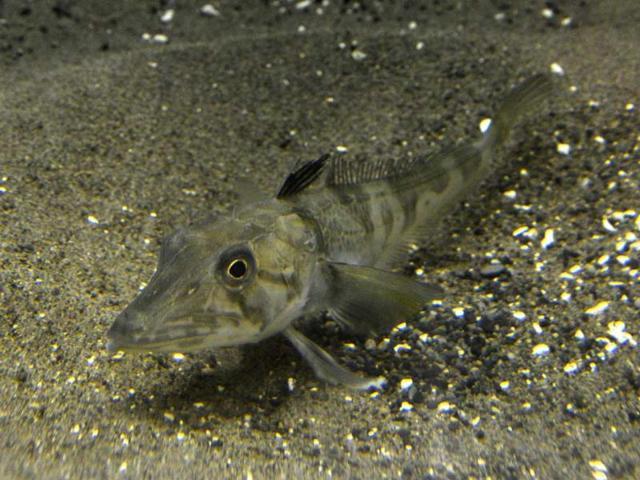 Japan aquarium shows mysterious clear-blood fish