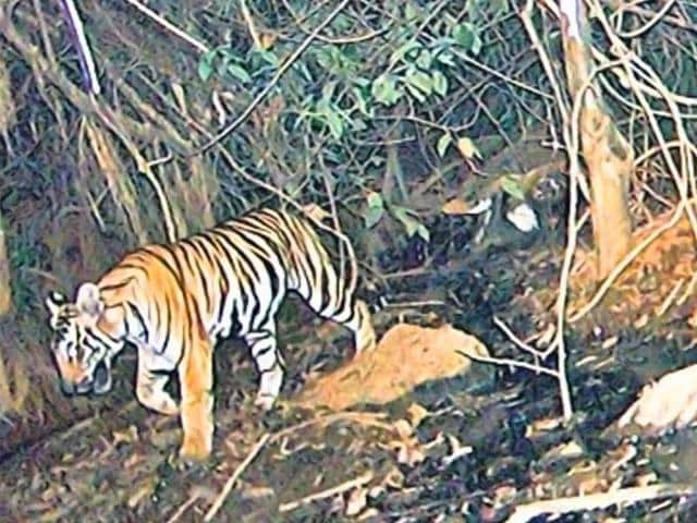 This-tiger-was-caught-on-camera-in-Mhadei-sanctuary-last-week-Goa-Forest-Department