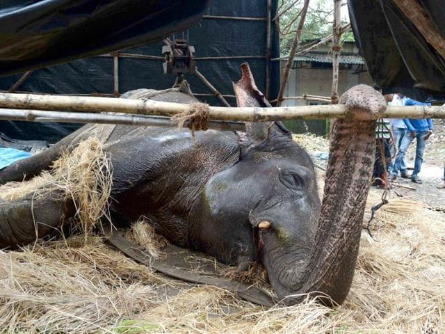 elephant bijlee,elephant specialist,animal cruelty