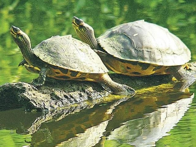 Vanishing turtles come back to life in Kolkata