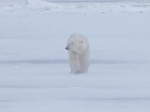 A-luxury-wildlife-tour-package-includes-polar-bear-watching-in-Canada-Photo-AFP-jo-Crebbin-shutterstock-com