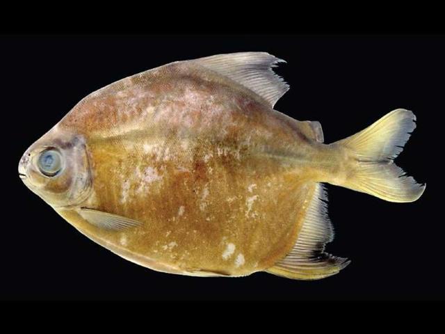 Parana River,piranha,piranha attack