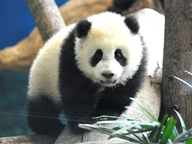 Yuan-Zai-the-first-Taiwan-born-baby-panda-plays-inside-its-enclosure-at-the-Taipei-City-Zoo-AFP-Photo