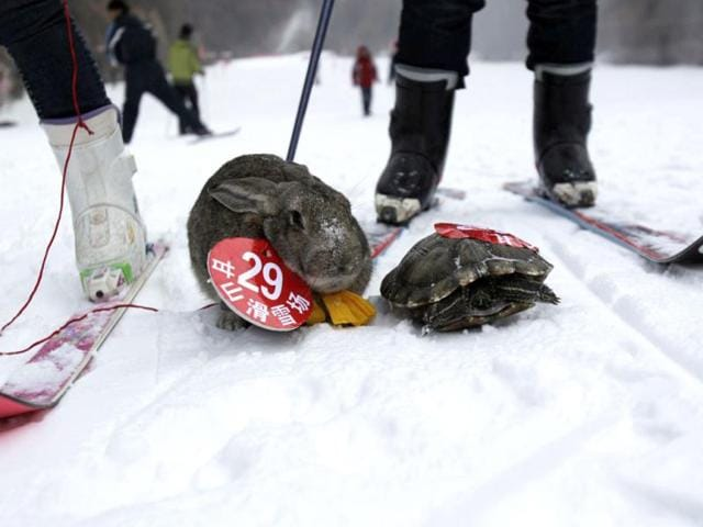 tortoise vs rabbit,pets skiing competition,skiing competition for pets