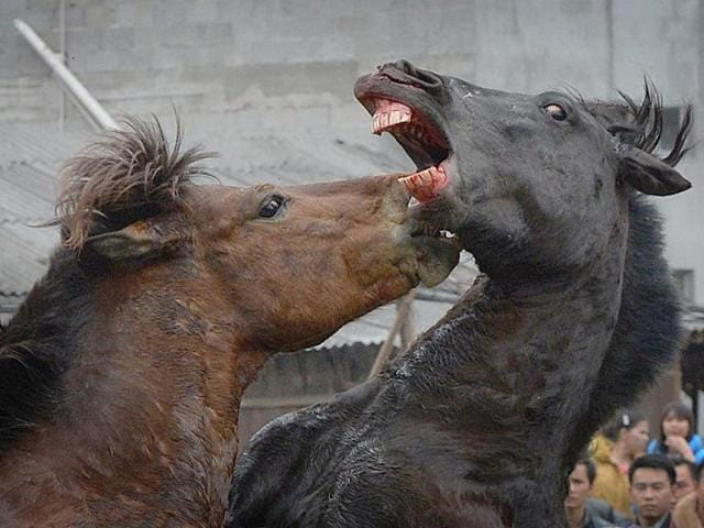China ushers in New Year by pitting horses against each other