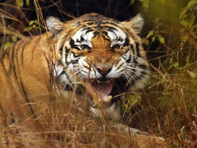 The tiger's carcass was found at Karondiya on November 4.
