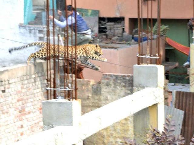 Meerut,Leopard,odd
