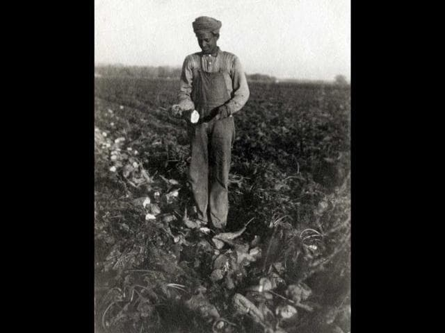An Indian immigrant worker harvests beets in Hamilton City, California, for the Sacramento Valley Sugar Company, ca. 1907–1915. (Photo courtesy: California State University, Chico, Meriam Library Special Collections)