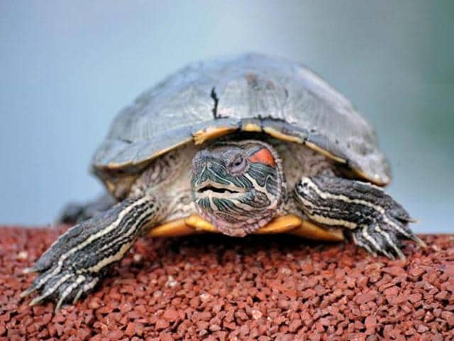 Chinese man kisses turtle 'goodbye', lands in hospital