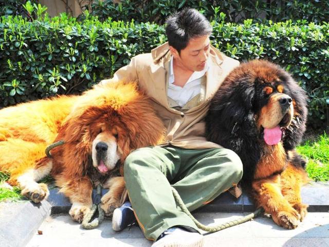 Tibetan mastiff puppy,dog,china