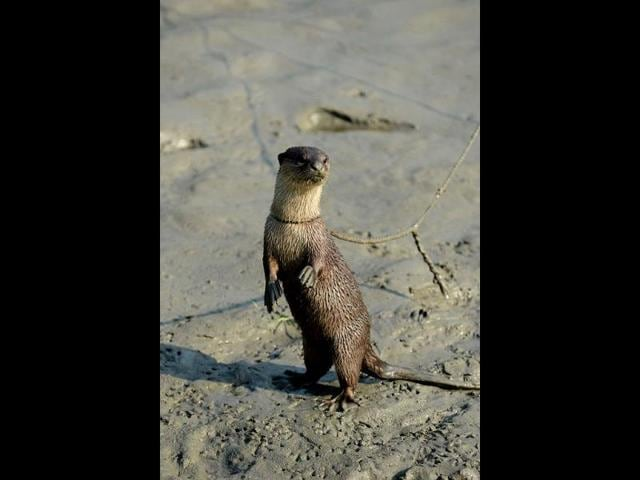 otter,Bangladesh fishermen,wildlife preservation