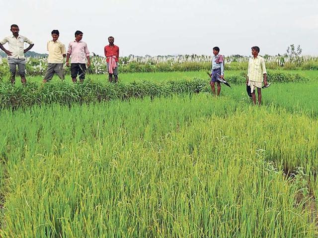 Krishak-Mitras-inspect-paddy-crop-at-Baghmara-in-Dhanbad-Bijay-HT-Photo