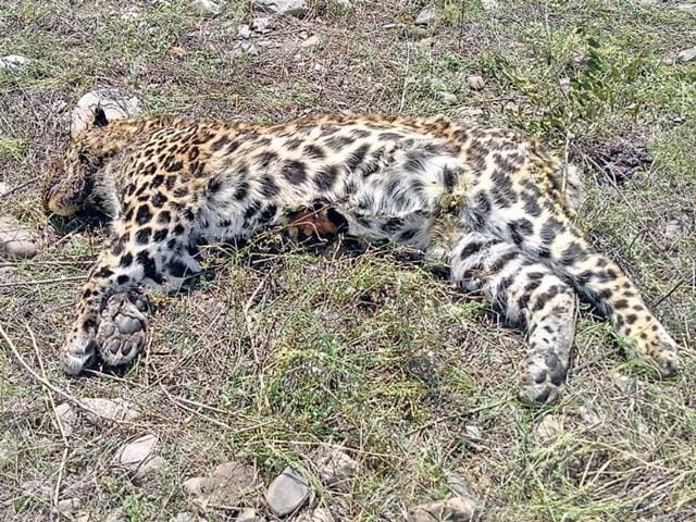 The-carcass-of-a-leopard-that-was-recovered-in-Ramnagar-recenlty-HT-File-Photo
