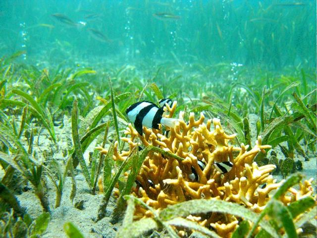 A-reef-fish-in-eastern-Papua-New-Guinea-Fish-make-risky-decisions-when-exposed-to-ocean-acidification-even-becoming-attracted-to-their-predators