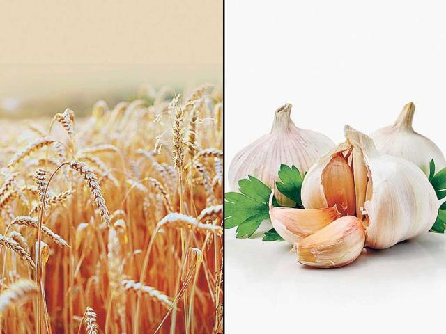 Punjab: Wheat seeds for 2016 rabi season hard to find