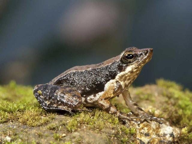 A-photo-of-one-of-the-14-new-species-of-dancing-frogs-discovered-by-the-scientists-in-the-Western-Ghats-HT-Photo