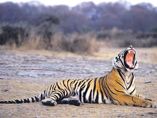 Pilibhit-has-a-good-density-of-4-5-tigers-per-100-sq-km-AFP-photo