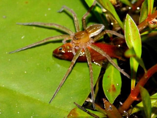 A-spider-preys-on-a-fish-larger-than-itself