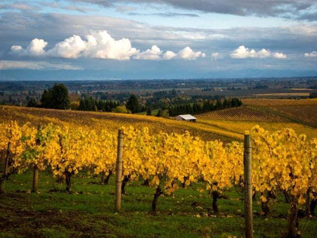 A-photo-of-an-Oregon-wineyard-AP